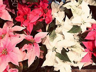 Kodumaine jõulutäht - Kolm lille lillepood