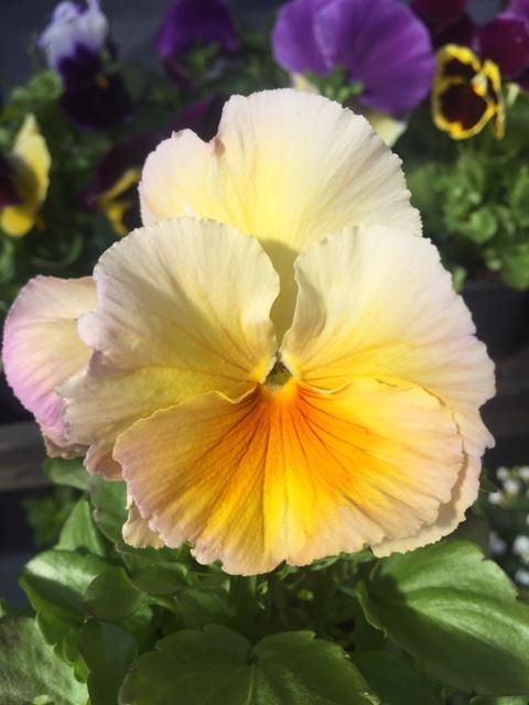 Võõrasemad - Kolm Lille lillepood