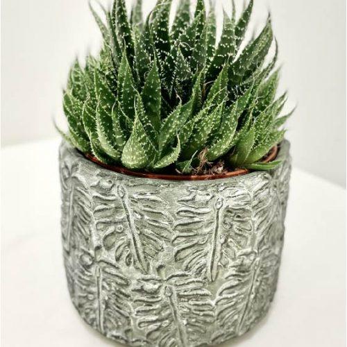 Aloe - Kolm Lille lillepood